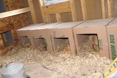 تجهیزات پرورش مرغ بومی / لانه تخمگذاری در پرورش مرغ محلی