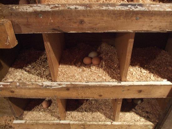 تجهیزات پرورش مرغ بومی لانه های تخمگذاری پرورش مرغ رسمی