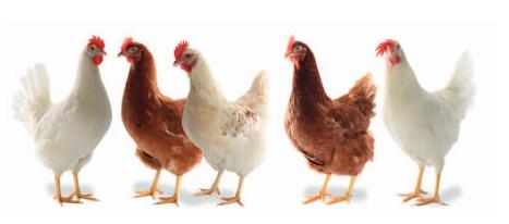 مرغ رنگی نژاد لوهمن با تولید بالا