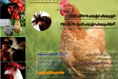 همه چیز درباره پرورش مرغ بومی و محلی در ۱۴ دقیقه