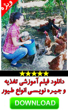 پرورش مرغ بومی تغذیه و جیره نویسی