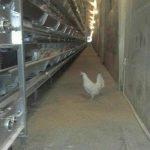 قفس مرغ تخمگذار تمام اتوماتساخت قفس مرغ تخمی فروش قفس مرغ تخمی خرید قفس مرغ تخمی ابعاد قفس مرغ تخمی انواع قفس مرغ تخمی قفس مرغ تخمی