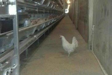 فروش فوری قفس مرغ تخمگذار و قفس مرغ گوشتی تمام اتومات+قیمت مناسب