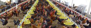 مطالب مهم و کاربردی در پرورش مرغ بومی