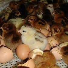فروش جوجه مرغ بومی و رسمی محلی تخمگذار بومی یک روزه