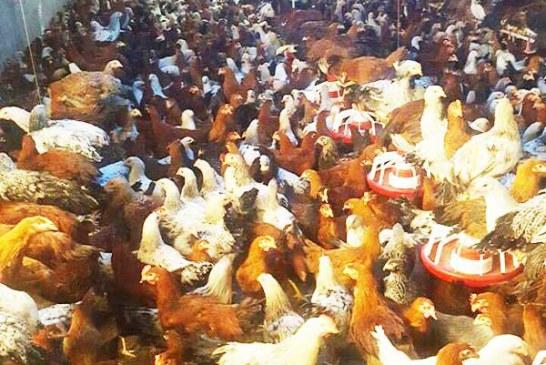 فروش ویژه مرغ و جوجه بومی و محلی درجه ۱ وخرید تضمینی تخم مرغ