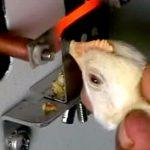 نوک چینی در پرورش مرغ بومی