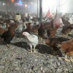 فروش مرغ و نیمچه بومی