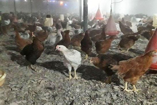 فروش۵۲هزار مرغ ۴ ماهه با تولید فوق العاده۷۵درصد بصورت جزئی-کلی