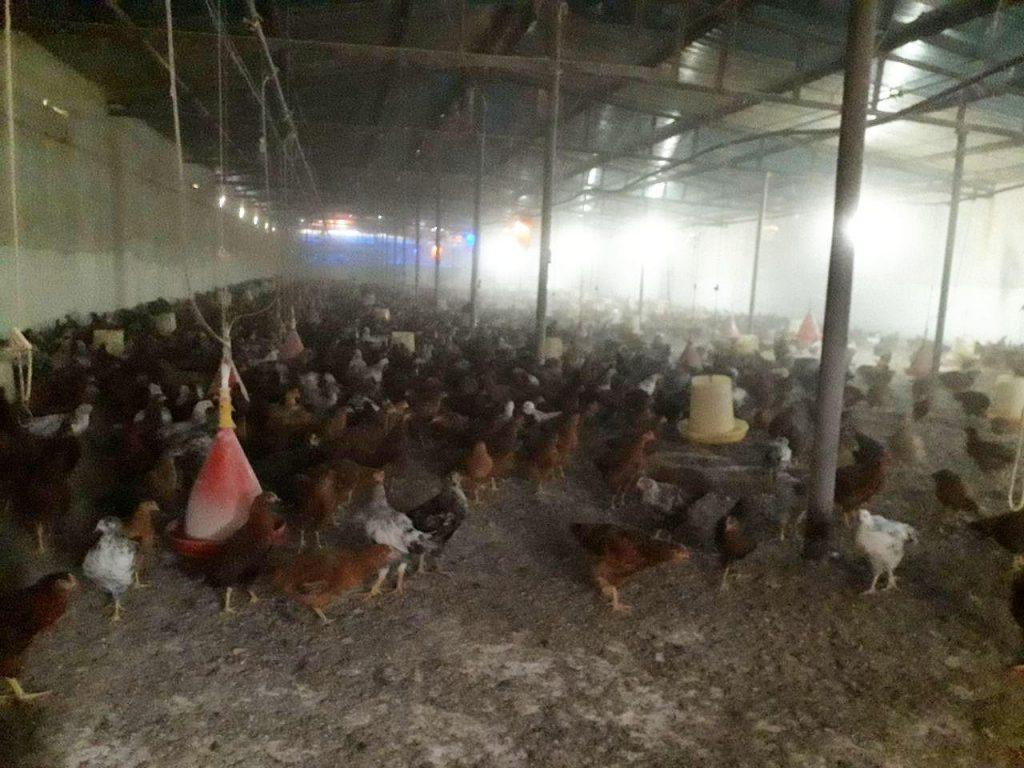 فروش مرغ تخمگذار خانگی