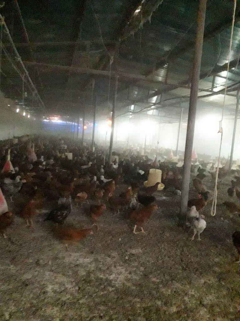 فروش مرغ تخمگذار رسمی