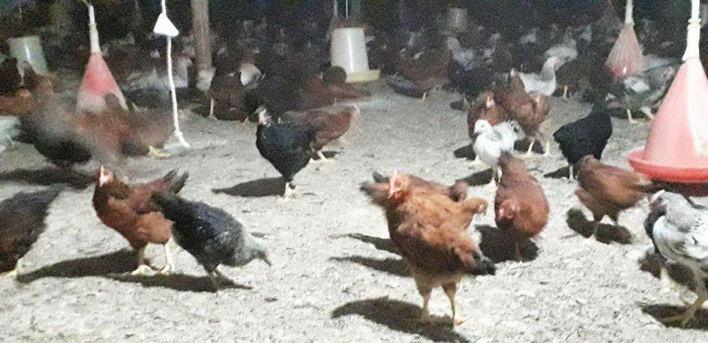 فروش نیمچه مرغ تخمگذار محلی