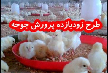 طرح زودبازده پرورش مرغ بومی با درآمد ۳ تا ۴ میلیون تومان در ماه