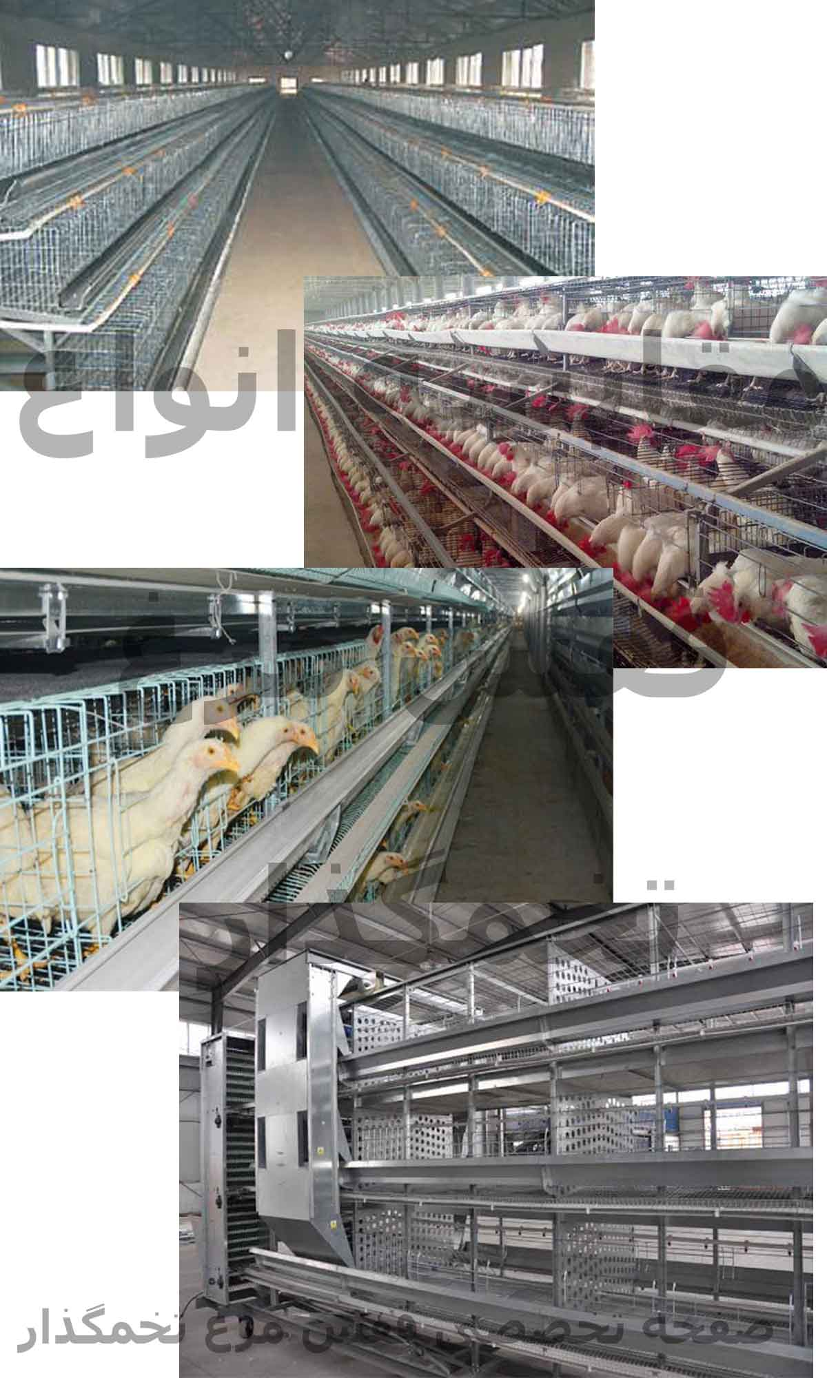مقایسه قفس مرغ تخمگذار
